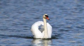 красивейший безгласный лебедь Стоковое фото RF