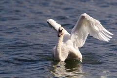 красивейший безгласный лебедь Стоковое Фото