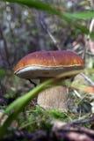 Красивейший белый грибок Стоковое Изображение RF