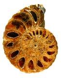 красивейший близкий ископаемый nautilus вверх по белизне Стоковая Фотография RF