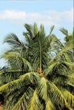 Красивейший вал кокоса Стоковое фото RF