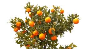 красивейший вал мандарина плодоовощ Стоковые Фотографии RF