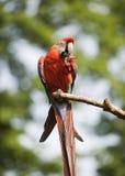 красивейший вал попыгая macaw ветви стоковые фотографии rf
