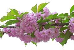 красивейший вектор sakura иллюстрации ветви Стоковое Изображение