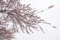 красивейший вектор sakura иллюстрации ветви Стоковое Изображение RF