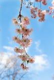 красивейший вектор sakura иллюстрации ветви Стоковая Фотография RF