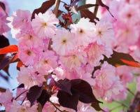 красивейший вектор sakura иллюстрации ветви Стоковая Фотография