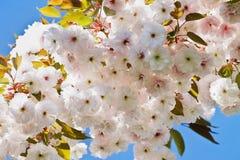 красивейший вектор sakura иллюстрации ветви Стоковое фото RF