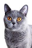 красивейший великобританский серый цвет кота Стоковая Фотография RF