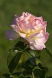 красивейший взбираясь желтый цвет розы пинка мира Стоковые Фотографии RF