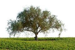 красивейший виноградник ландшафта california Стоковое Изображение