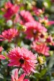 красивейший георгин цветет красный цвет Стоковая Фотография RF