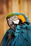 красивейший голубой портрет попыгая macaw золота 5 стоковое фото rf