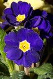 красивейший голубой цветок Стоковое Изображение