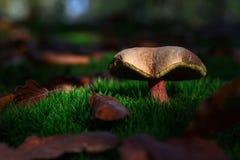 красивейший гриб Стоковые Фотографии RF
