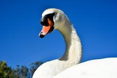 красивейший лебедь Стоковое фото RF