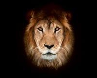 Красивейший лев Стоковое Изображение