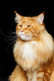 красивейший енот Мейн кота Стоковое фото RF