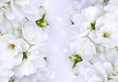 красивейший жасмин Стоковое фото RF