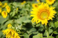 Красивейший желтый солнцецвет Стоковая Фотография