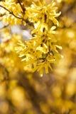 красивейший желтый цвет весны цветков Стоковая Фотография RF