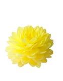 красивейший желтый цвет георгина Стоковые Фотографии RF