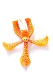 красивейший желтый цвет орхидеи Стоковая Фотография