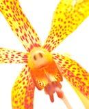 красивейший желтый цвет орхидеи Стоковые Изображения