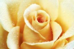 красивейший желтый цвет розы цветка Стоковое Изображение