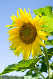 красивейший желтый цвет солнцецвета Стоковое Фото