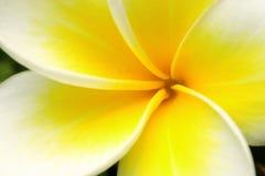 красивейший желтый цвет цветка Стоковое Изображение