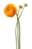 красивейший желтый цвет цветка Стоковые Фото