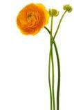 красивейший желтый цвет цветка Стоковые Фотографии RF