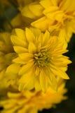 красивейший желтый цвет цветков Стоковые Изображения
