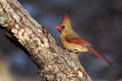 Красивейший женский северный Cardinal Стоковое Изображение