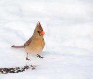 Красивейший женский северный Cardinal Стоковое Фото