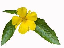 Красивейший желтый цветок с листьями Стоковые Изображения