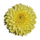 красивейший желтый цвет георгина Стоковое Фото