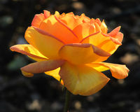 красивейший желтый цвет розы Волшебство цветка Стоковое Изображение