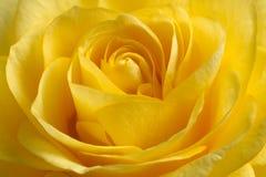 красивейший желтый цвет розы Стоковые Фото