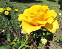 красивейший желтый цвет розы Стоковые Изображения