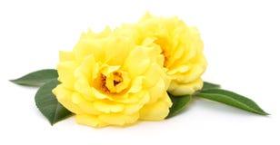 красивейший желтый цвет роз Стоковые Фотографии RF