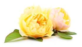 красивейший желтый цвет роз Стоковое Фото