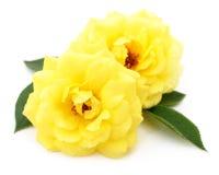 красивейший желтый цвет роз Стоковые Изображения