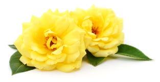 красивейший желтый цвет роз Стоковая Фотография RF