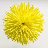 красивейший желтый цвет хризантемы стоковые изображения