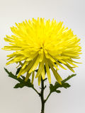 красивейший желтый цвет хризантемы стоковые фотографии rf