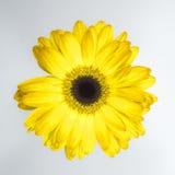 красивейший желтый цвет хризантемы стоковая фотография