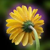 красивейший желтый цвет цветка Стоковые Изображения RF