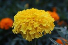 красивейший желтый цвет цветка Стоковое фото RF